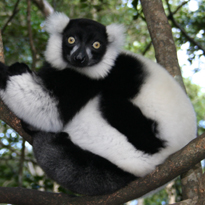 black and white ruffed lemur courtesy of Eliza Nelson