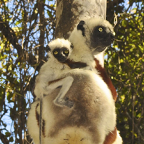 Coquerel's sifaka courtesy of Abigail Ross
