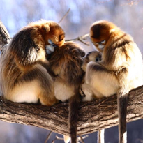 golden snub-nose monkey courtesy of QI Xiao-Guang