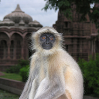 gray langur courtesy of Randall Kyes