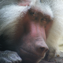 hamadryas baboon courtesy of Raymond C.L. Ho