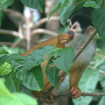 squirrel monkey courtesy of Amanda Melin