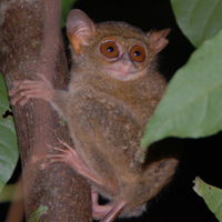 spectral tarsier courtesy of Randall Kyes
