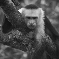 white-faced capuchin courtesy of Ricky Berl and the Lomas Barbudal Monkey Project